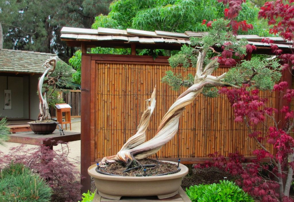 Clark Bonsai Collection Fresno California Ernie Kuo California Juniper