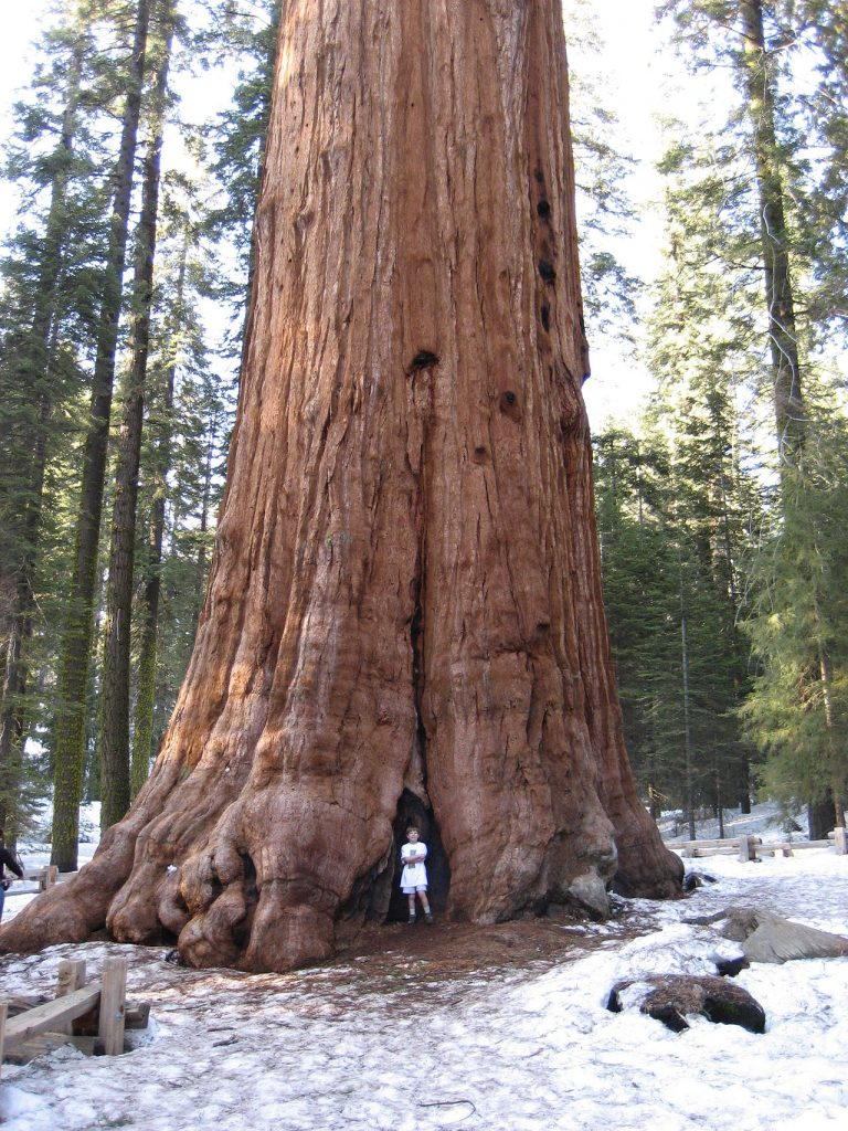 The General Sherman largest tree in the world Fresno California