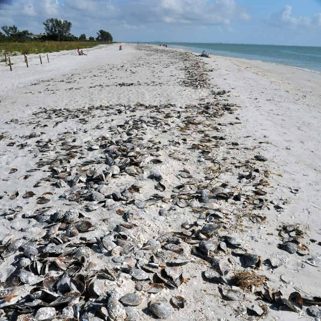 Top Beaches to Visit Algiers Beach Sanibel Island Florida Seashells